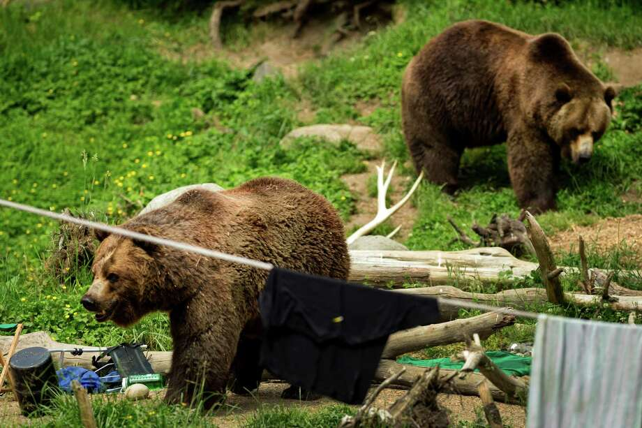 A pair of grizzlies show what can go wrong when food and garbage aren't stored properly in bear country during a mock campsite demonstration at Woodland Park Zoo's Bear Affair event Saturday, June 8, 2013, in Seattle. The event focused on bears, wolves, raptors and other Pacific Northwest wildlife and what these animals need to survive in the wild and how humans can co-exist. Photo: JORDAN STEAD, SEATTLEPI.COM / SEATTLEPI.COM