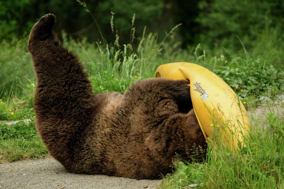 A grizzly investigates a scented kayak to show what can go wrong when food and garbage aren't stored properly in bear country during a mock campsite demonstration at Woodland Park Zoo's Bear Affair event Saturday, June 8, 2013, in Seattle. The event focused on bears, wolves, raptors and other Pacific Northwest wildlife and what these animals need to survive in the wild and how humans can co-exist. Photo: JORDAN STEAD, SEATTLEPI.COM / SEATTLEPI.COM
