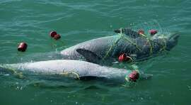 A pair of bottlenose dolphin killed - drowned -  by an illegal gill net set in the Gulf of Mexico. The gill nets and longlines used by Mexico-based fish poachers are indiscriminate killers, claiming dolphins, ses turtles, sea birds and other non-target species as well as the sharks, red snapper and other fish the illegal fishers target. Photo courtesy of Texas Parks and Wildlife Department