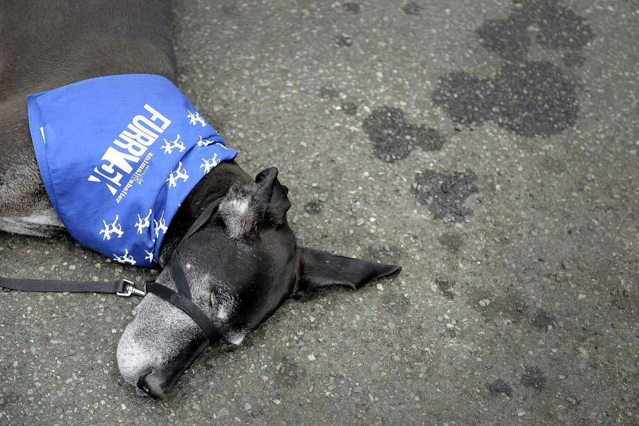 Lola, a 10-year-old Great Dane, takes a well-deserved nap after completing the 14th annual Furry 5k Fun Run and Walk at Seward Park on Sunday, June 9, 2013. The run benefitted the Seattle Animal Shelter and brought out hundreds of canines and their humans. Photo: LINDSEY WASSON / SEATTLEPI.COM