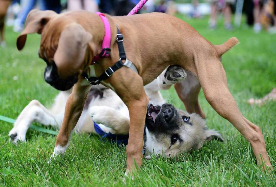 12-week-old Abby, a Boxer, plays with her new pal Chewie, bottom, a 4-month-old Shepard mix, before the 14th annual Furry 5k Fun Run and Walk at Seward Park on Sunday, June 9, 2013. The run benefitted the Seattle Animal Shelter and brought out hundreds of canines and their humans. Photo: LINDSEY WASSON / SEATTLEPI.COM