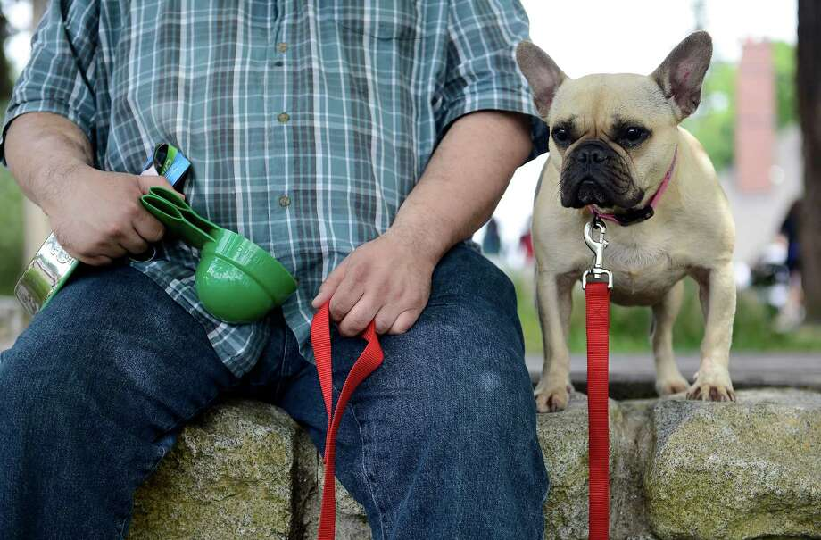 French Bulldog Shandi, almost 4, relaxes with her owner Hadi Malak after participating in the 14th annual Furry 5k Fun Run and Walk at Seward Park on Sunday, June 9, 2013. The run benefitted the Seattle Animal Shelter and brought out hundreds of canines and their humans. Photo: LINDSEY WASSON / SEATTLEPI.COM