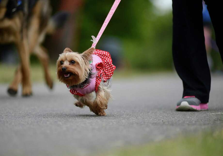 A Yorkshire Terrier hoofs it to the finish line during the 14th annual Furry 5k Fun Run and Walk at Seward Park on Sunday, June 9, 2013. The run benefitted the Seattle Animal Shelter and brought out hundreds of canines and their humans. Photo: LINDSEY WASSON / SEATTLEPI.COM