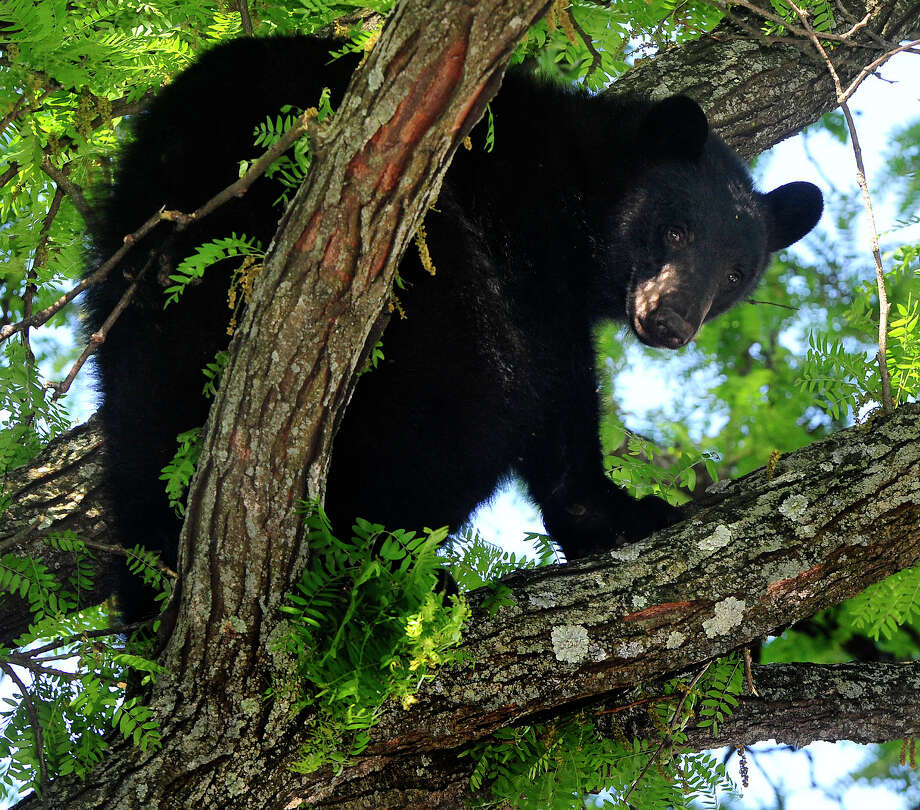 A 250 pound black is discovered in a tree along West Wooster Street in Danbury, Conn. Tuesday, June 4, 2013. Department of Energy and Enviormental Protection workers tranqulized him and he dropped into a net set up by the Danbury Fire Dept. Photo: Michael Duffy / The News-Times