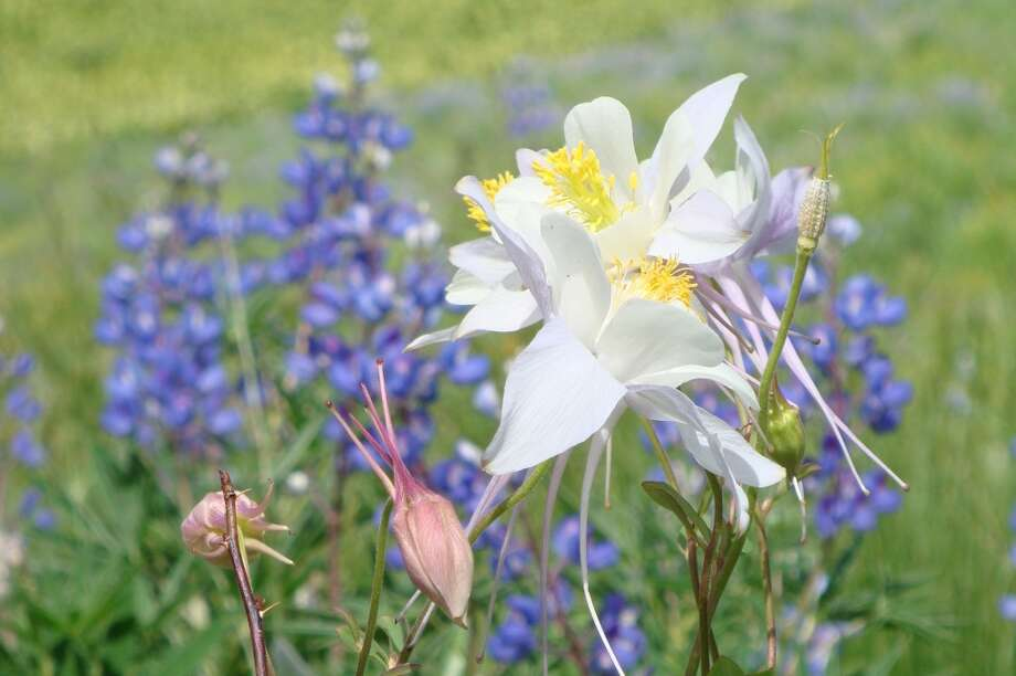 Columbine and lupine are two of the wildflowers adorning mountain meadows and hillsides in Crested Butte, Colo.