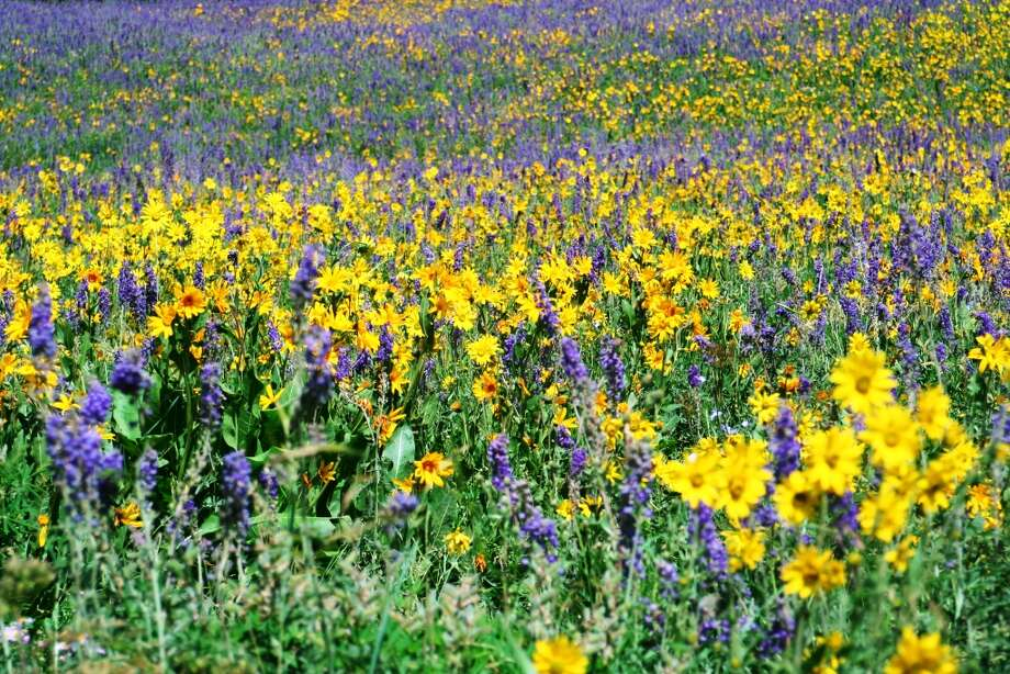 Mule's ear and larkspur add color to a meadow in Crested Butte, Colo.