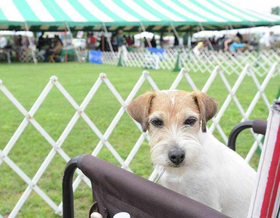 The Greenwich Kennel Club Dog Show takes place Saturday at Taylor Farm Park in Norwalk. Find out more.  Photo: Bob Luckey / Greenwich Time