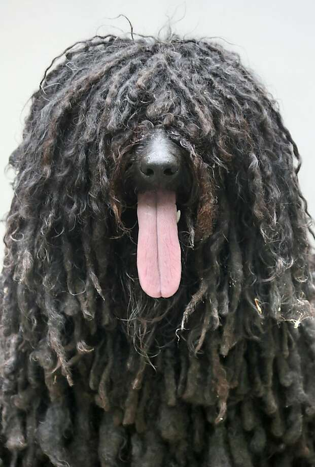 We're pantin', pantin', and I hope you like pantin', too:Susha, a resident of Berlin, is a Hungarian guardian  dog and also, we suspect, a Rastafarian. Photo: Stephanie Pilick, Associated Press