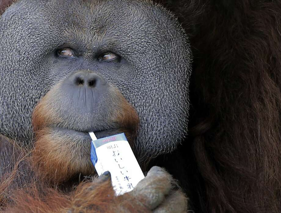 Sneaking a smoke? Although Iban is 25 years old, he still drinks milk out of a sippy-straw container at the Ichikawa Zoo in Tokyo. Photo: Itsuo Inouye, Associated Press