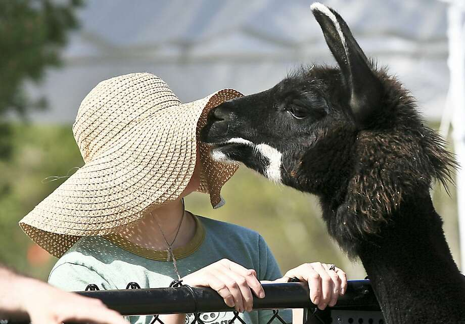 I SAID, 'NICE HAT!' A llama invades Teri Sackmeister's personal space at the Lake Superior Zoo in Duluth, Mich. Photo: Clint Austin, Associated Press