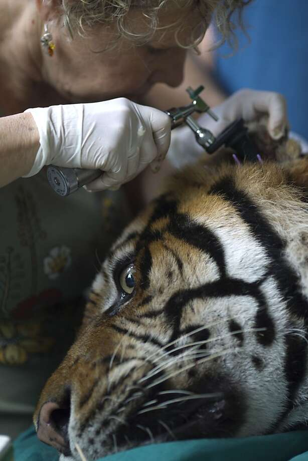 Achy ear:Veterinarian Gila Tzur examines Pedang, a Sumatran tiger who has been suffering from chronic ear problems at the Ramat Gan Safari near Tel Aviv. Vets stuck acupuncture pins in his body and ears in an effort to relieve his pain. Photo: Ariel Schalit, Associated Press