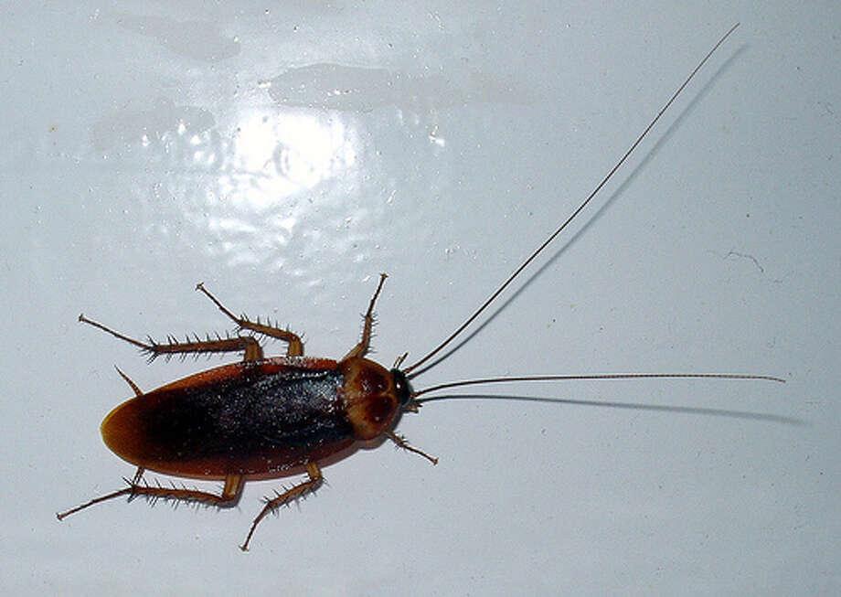 If you miss Palmetto bugs  ... Photo: Wikimedia Commons