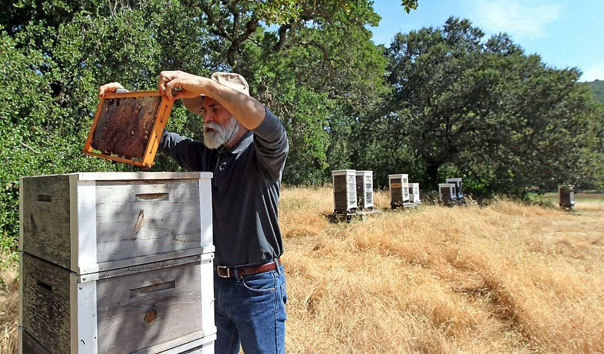 Serge Labesque, a Sonoma County organic beekeeper who has legions of followers, builds his own hives, and uses no chemicals or artificial feeding for his bees. He has been building and maintaining dozens of hives on Oak Hill Farm for his European honeybees. Wednesday, May 15, 2013 in Glen Ellen, Calif.