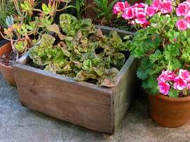 Photo for GGG #14, 2013  Boxes made of wood that isn't pressure-treated or painted on the inside make fine containers for organic gardeners. This redwood container has grown food for many years.