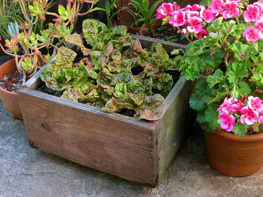 Boxes made of wood that isn't pressure treated or painted on the inside are safe to use as containers for edible gardening. This redwood planter has grown food for many years. Photo: Pam Peirce