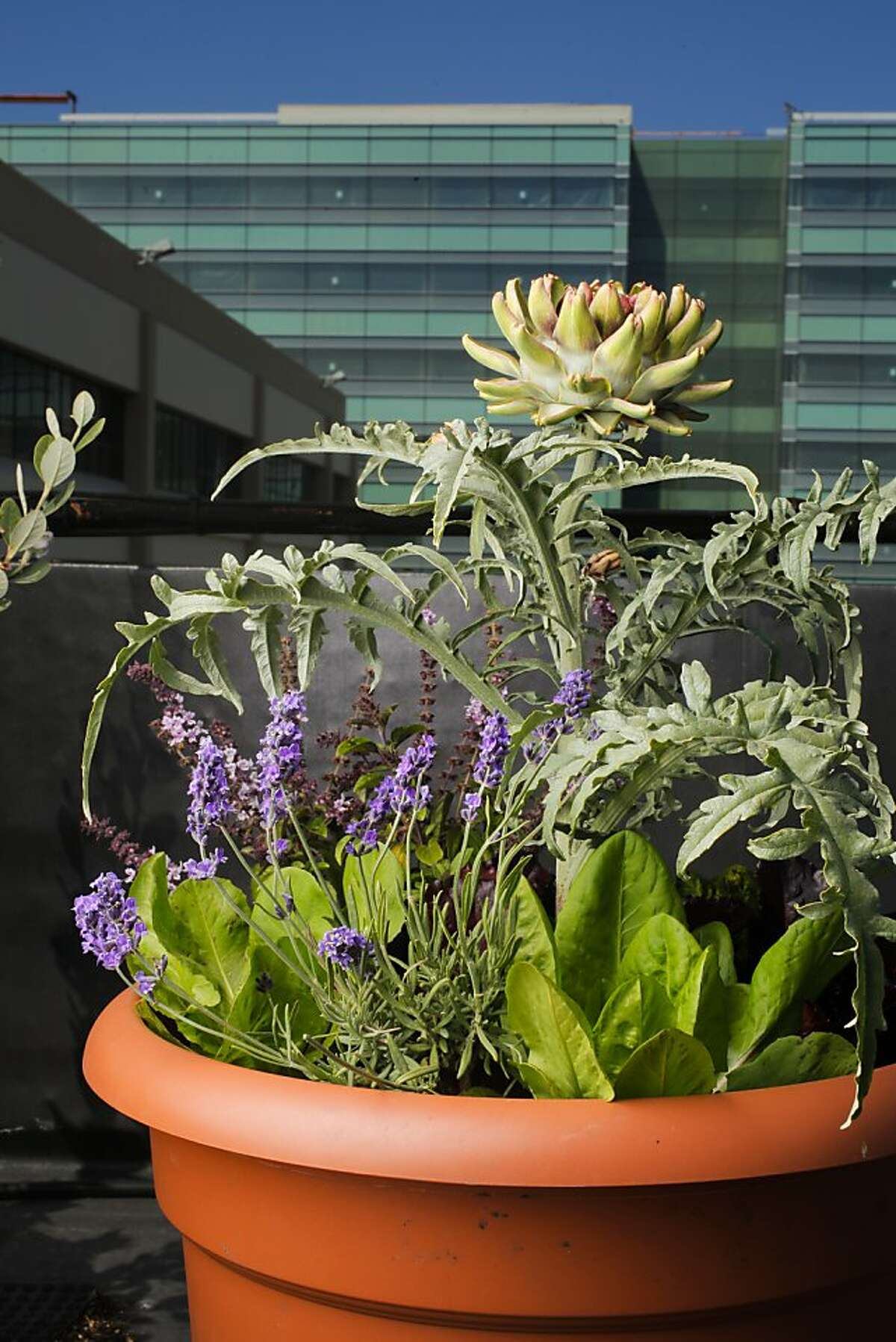 The garden features artichoke with 'African Blue' basil, lavender, endive and lettuce.