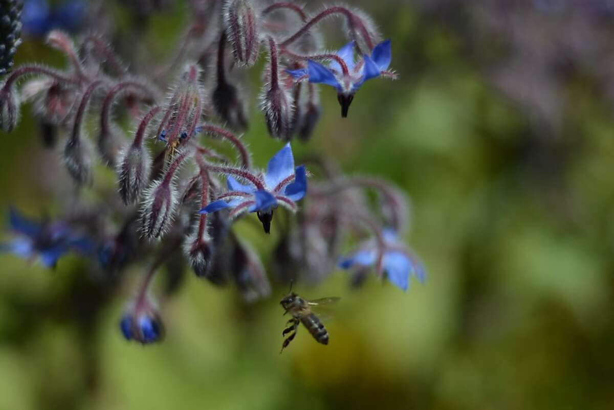 Borage, a honeybee magnate, grows in the edible flowers containerl.