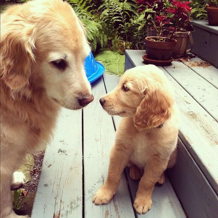 Our 10 year old Gwen greets our new 8 week old golden retriever pup- Max!