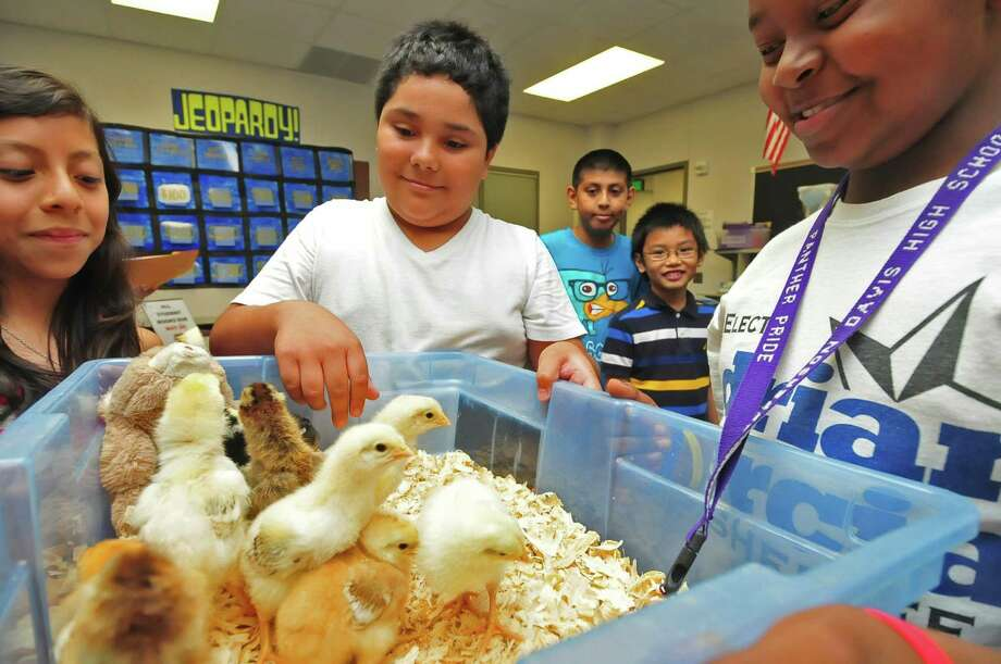 Morton Ranch Elementary pupils Tanya Velasquez, 11; Jacob Garcia, 11; Raul Ramirez, 10; Orville Amigleo, 9; and Yishmael Haywood, 11, enjoy baby chicks hatched at their school.Morton Ranch Elementary pupils Tanya Velasquez, 11; Jacob Garcia, 11; Raul Ramirez, 10; Orville Amigleo, 9; and Yishmael Haywood, 11, enjoy baby chicks hatched at their school. Photo: Â Tony Bullard 2013, Freelance Photographer / © Tony Bullard & the Houston Chronicle