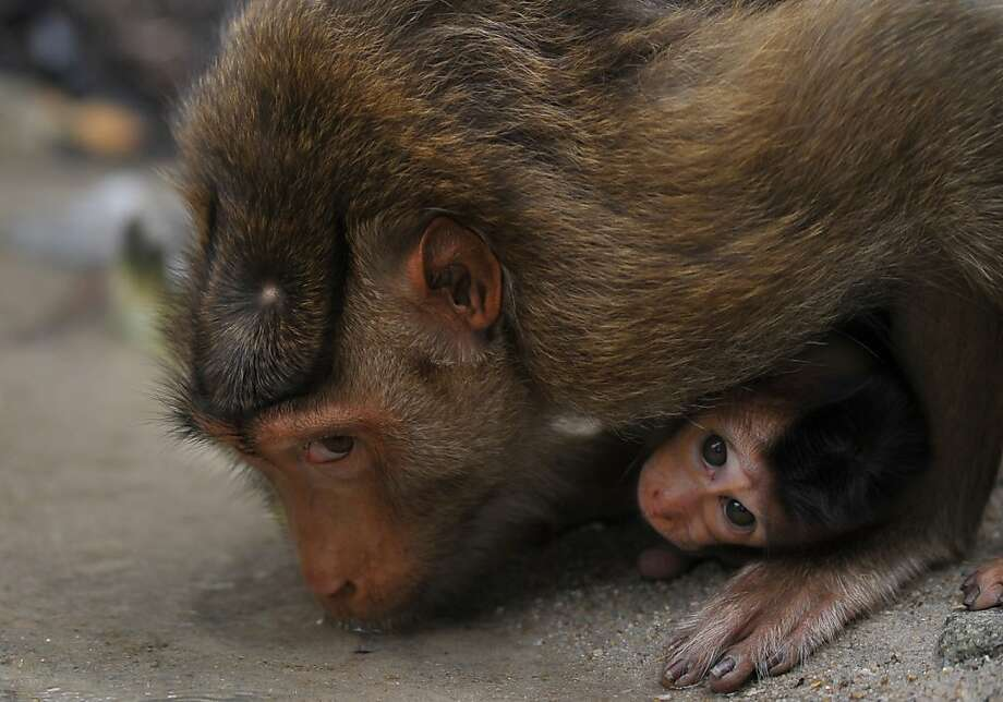 Thirsty monkey: A wild macaque mother leans over to drink from a puddle in the suburbs of Kuala Lumpur. Photo: Mohd Rasfan, AFP/Getty Images