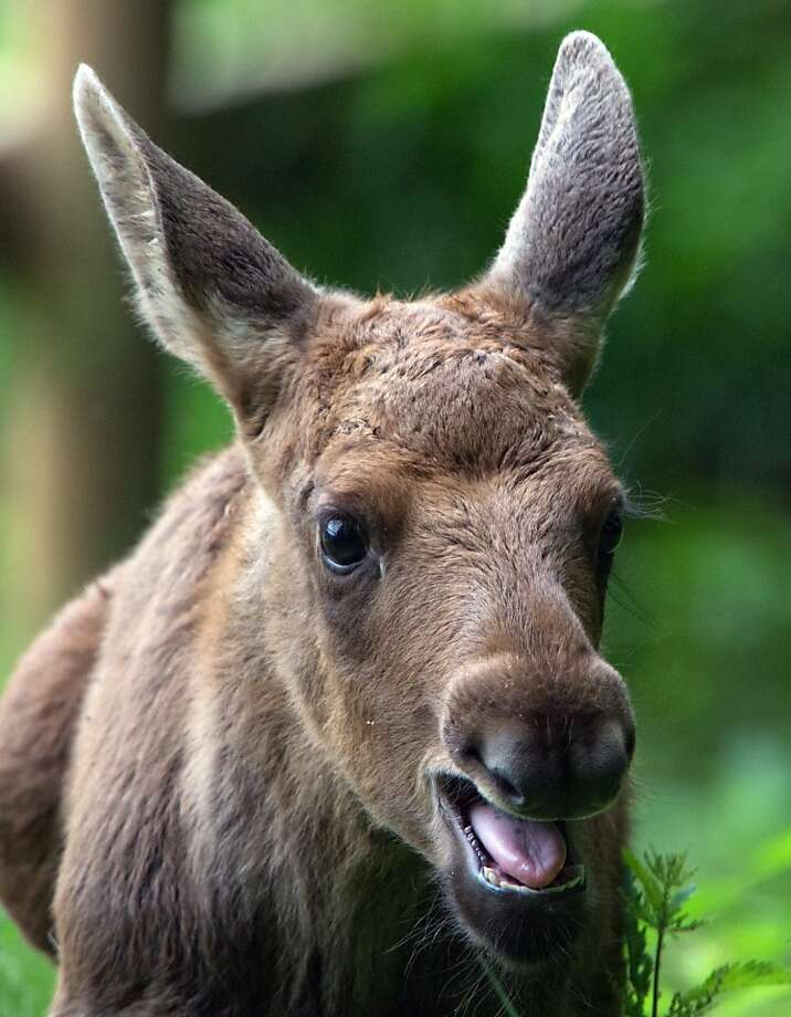 Bad break for a Bullwinkle:Poor Herbert. The young moose has been hobbling around on a broken leg in a wildlife park in Hanau, Germany, but park officials and veterinarians don't know yet if the injury is treatable. Photo: Boris Roessler, AFP/Getty Images