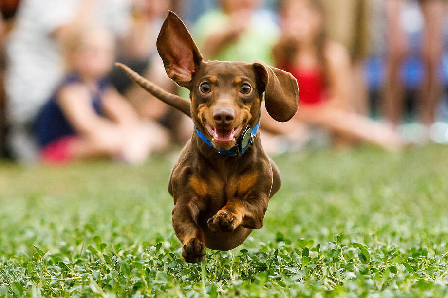 O'Malley, a chocolate and tan dachshund, races during last year's Boerne Berges Fest. Photo: Marvin Pfeiffer / Northwest Weekly