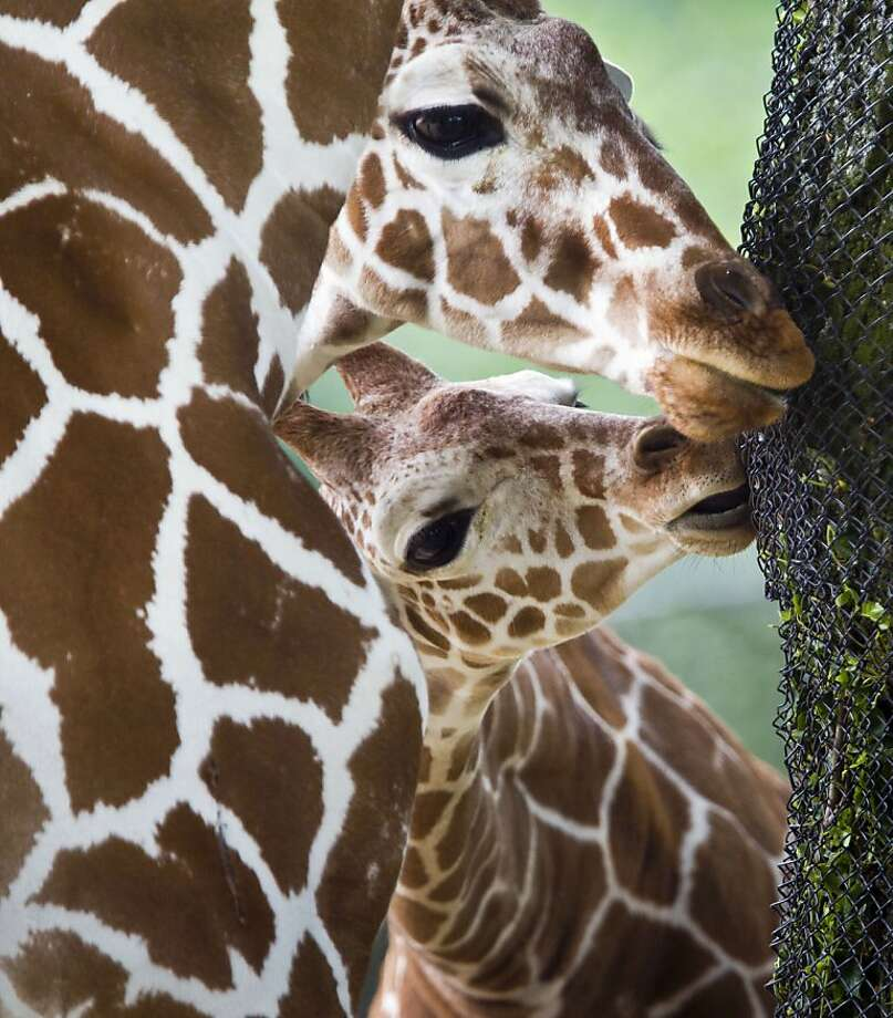 The best-tasting bark is forbidden bark: Giraffes attempt to suck a tree through wire mesh at the Frankfurt/Main Zoo in Germany. Photo: Frank Rumpenhorst, AFP/Getty Images