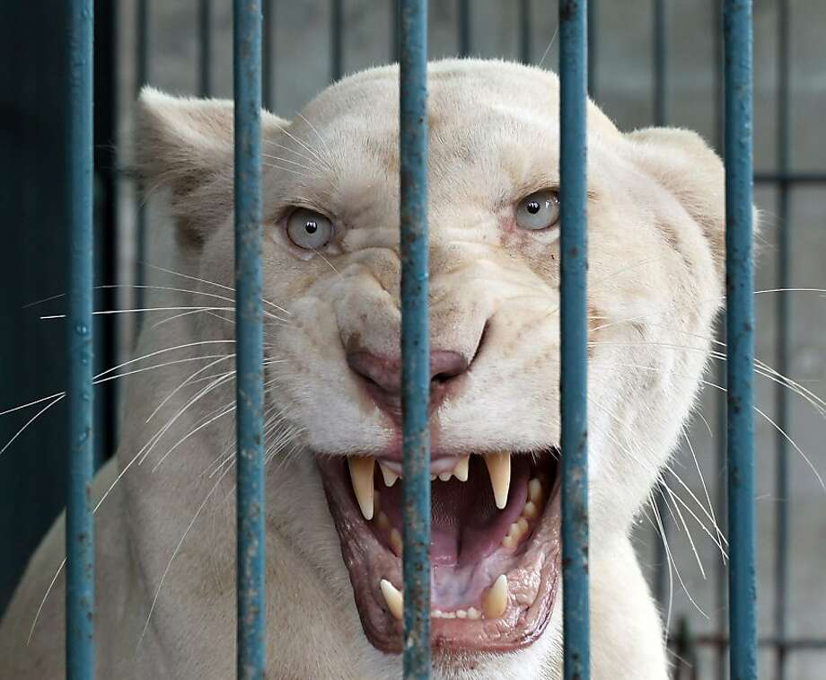 Snarling with joy:A lioness rescued with other imported and endangered animals during a raid at a Bangkok house shows her appreciation. Thai police and forestry officials seized 14 lions and other animals in the raid, and arrested the owner. Photo: Apichart Weerawong, Associated Press