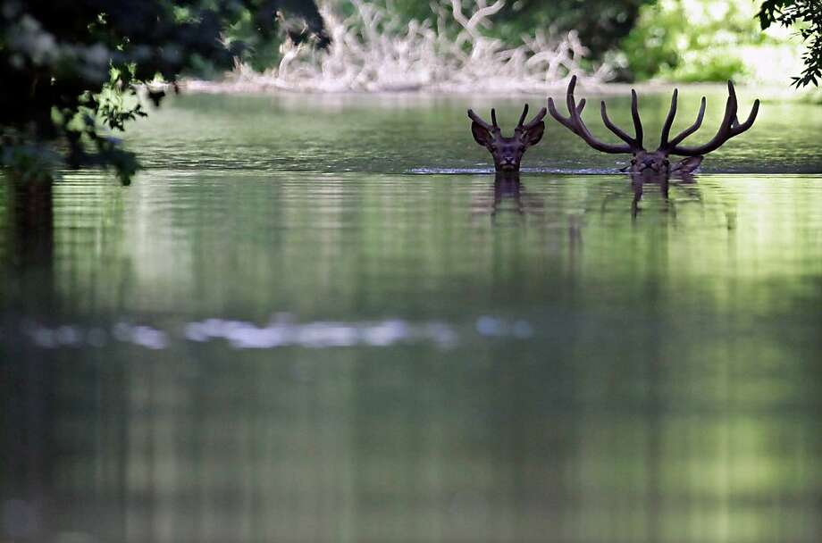 Antlers aweigh: Deer swim through the floodwaters of the Danube River in search of higher ground in the Gemenc Forest, about 100 miles south of Budapest. Photo: Peter Kohalmi, AFP/Getty Images