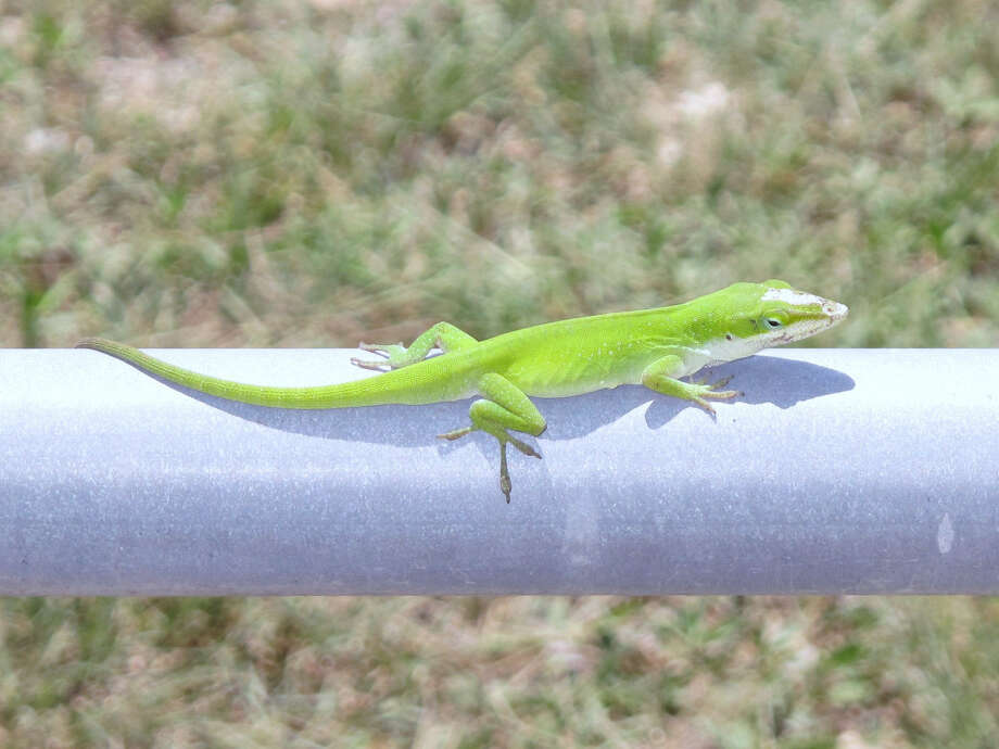 This anole was seen at the Mims place. The drought meant fewer insects for anoles to eat, thus fewer anoles. Photo: Forrest M. Mims III / For The Express-News