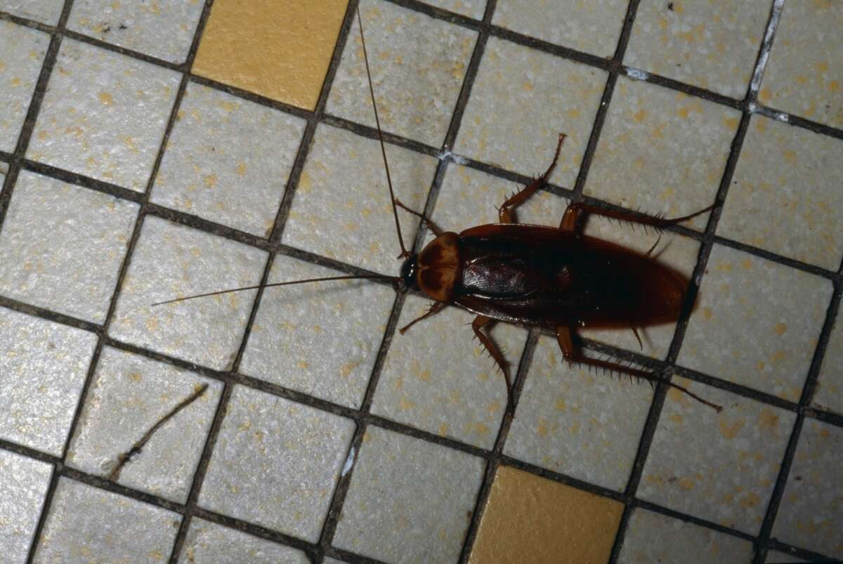 San Antonio has its fair share of bugs that bite, sting or generally are a nuisance. Cockroaches are common. Click ahead to see more local insects and spiders.