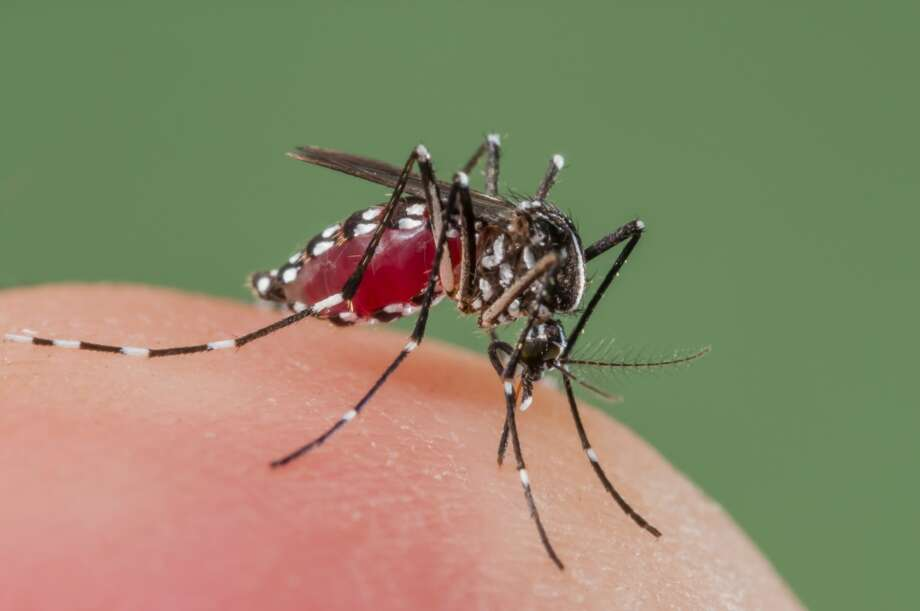 Asian Tiger Mosquito biting, Spain
