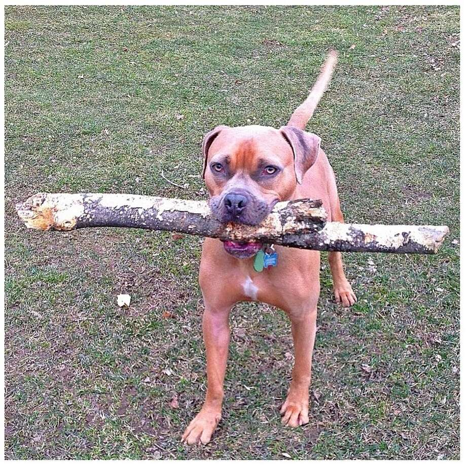 Sarge, a rescued pitbull from Out of the Pits, defies all labels carried by his breed. He is the best pet in the capital region because he is diplomatic by nature. He barks softly and carries a big stick.  From:  Erika Macchione, Albany