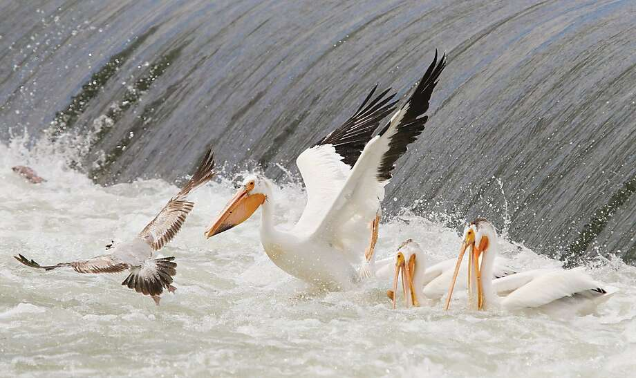 Get lost! Pelicans don't share their fish. Especially not with seagulls. (Horn Rapids Dam outside Richland, Wash.) Photo: Kai-Huei Yau, Associated Press