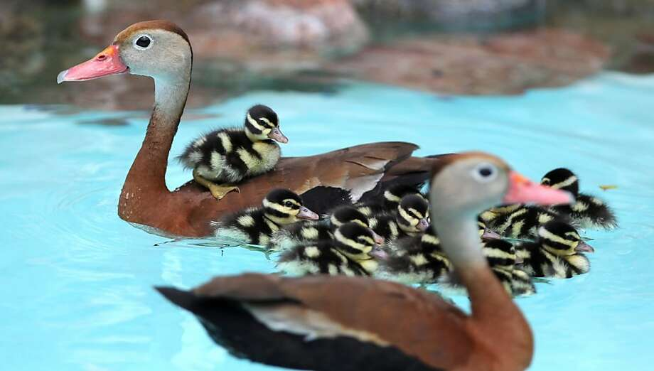 Sixteen bills: A couple in Corpus Christi, Texas, aren't sure how a pair of ducks with 14 ducklings 