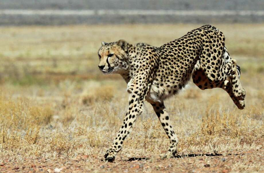 Cheetah  Photo: CHRISTOPHE BEAUDUFE, Staff / AFP
