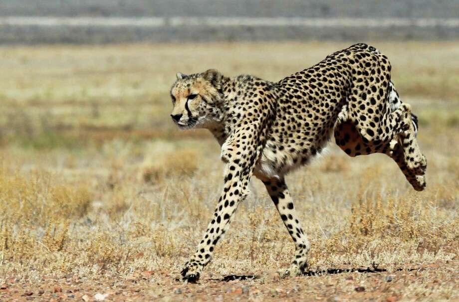 Cheetah Photo: CHRISTOPHE BEAUDUFE, Staff / AFP