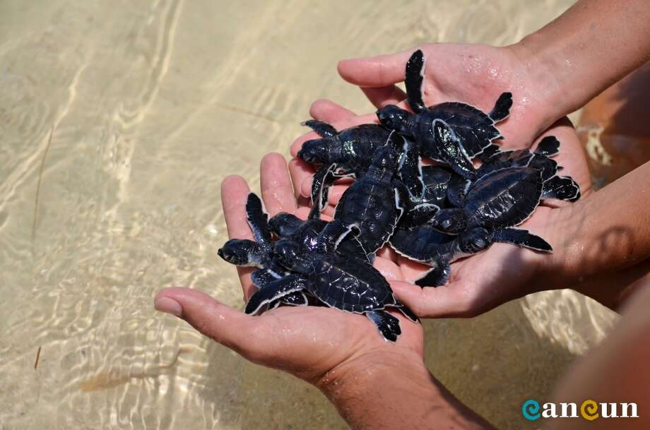 Most Cancun and Puerto Morelos beachfront hotels participate in Campo Tortugero, a turtle conservation program to aid hatchlings.