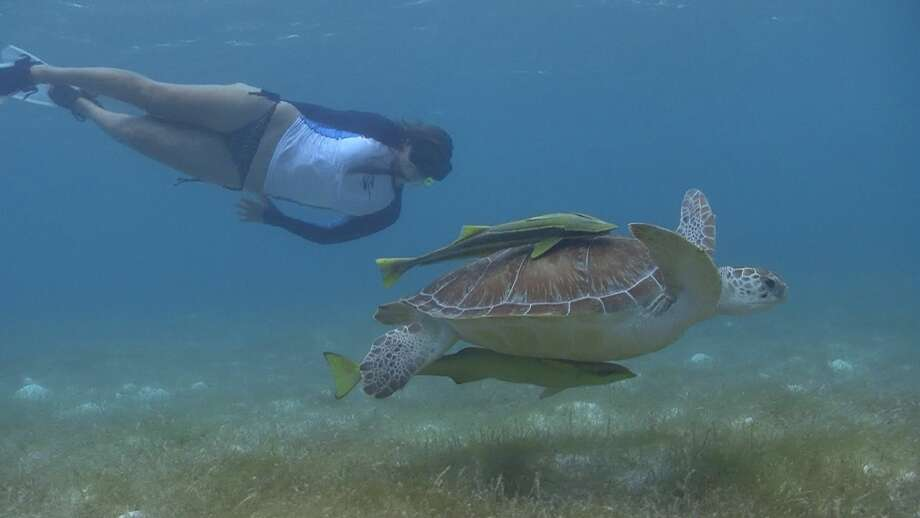 Seeing sea turtles while diving or snorkeling in Cancun is always exciting. To help their survival, barriers are placed around their nests on the beach.