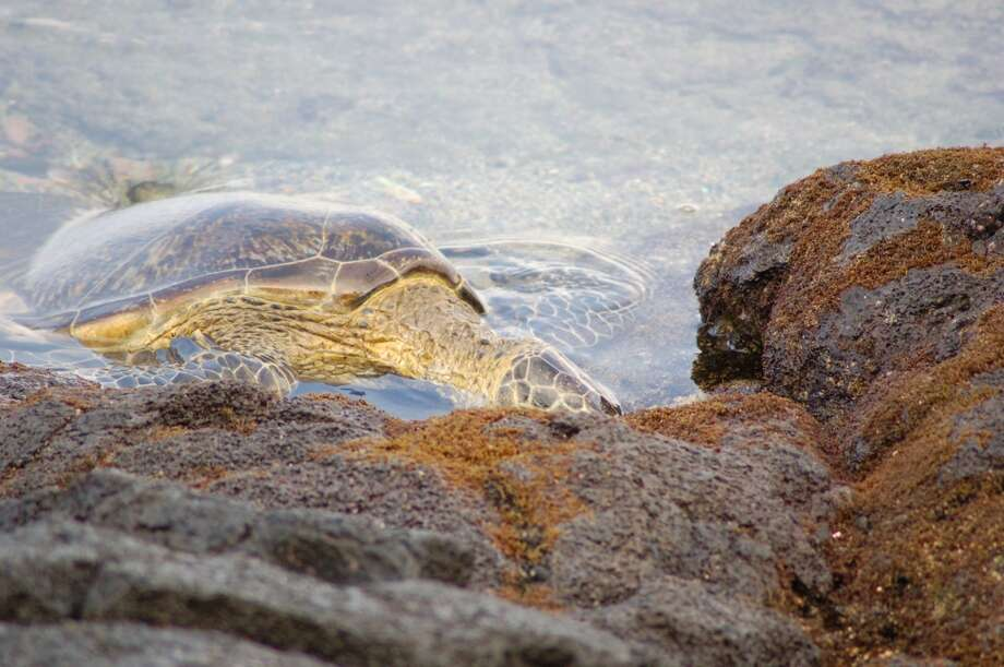 The Hawaiian green sea turtle blends in easily with the volcanic rocks covered with the seaweed it likes to nibble.