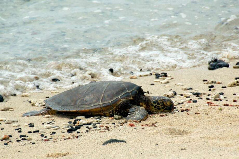 Turtles resting on the beach, like this one at the Four Seasons Hualalai, should never be disturbed. In Hawaii, it's against the law to disturb them on land or sea.