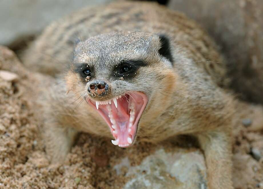 I got sand in my eyes! A meerkat makes a face at Sababurg animal park near Hofgeismar, Germany. Photo: Uwe Zucchi, AFP/Getty Images