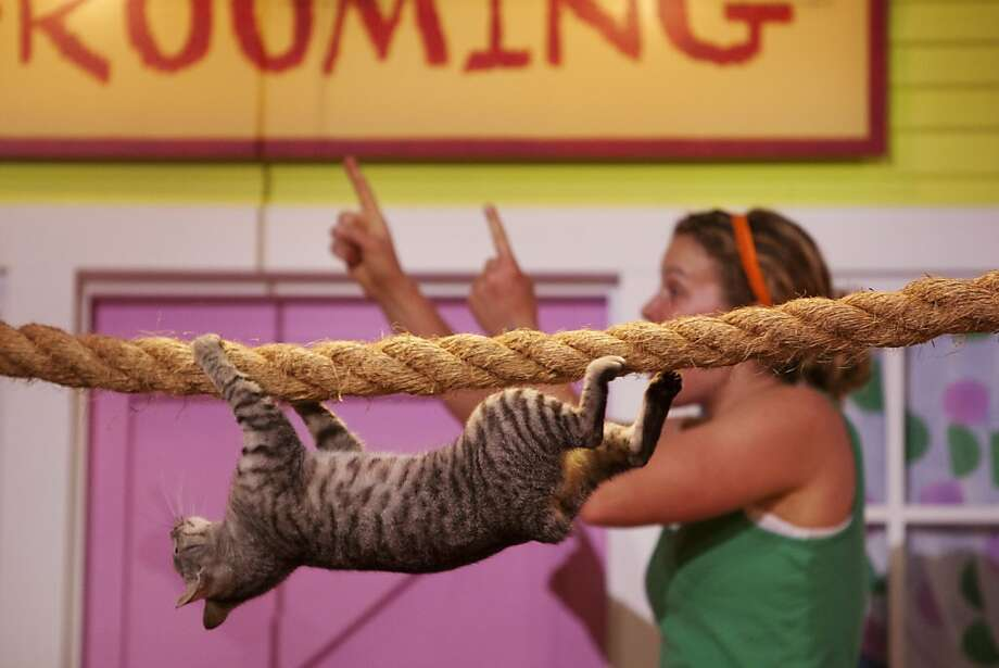 Who tipped the tabby? Many talented cats can walk a thick tight rope, but only a few can do it upside down. (Pets Ahoy show at Sea World, San Antonio.) Photo: Abbey Oldham, San Antonio Express-News