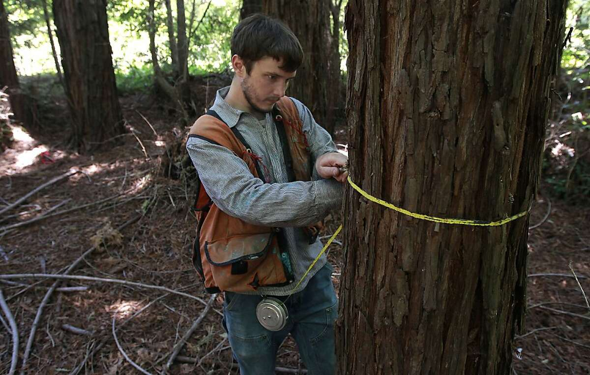 """Brian Pickett, a forester, for The Conservation Fund collects data in a redwood stand to be used in forest management on the Preservation Ranch property on Tues. June 11, 2013 near Annapolis, Calif. A public-private partnership led by The Conservation Fund has purchased 19,645 acres of forest known as Preservation Ranch, the largest conservation project in the history of Sonoma County. The property, a vast forested parcel threatened by development and vineyard conversion, is part of a campaign by the fund to preserve more than 125,000 acres of Douglas fir and redwood forests and use sustainable management practices to conserve critical habitat, restore native watersheds and support local economies through ?'light-touch?"""" timber management."""