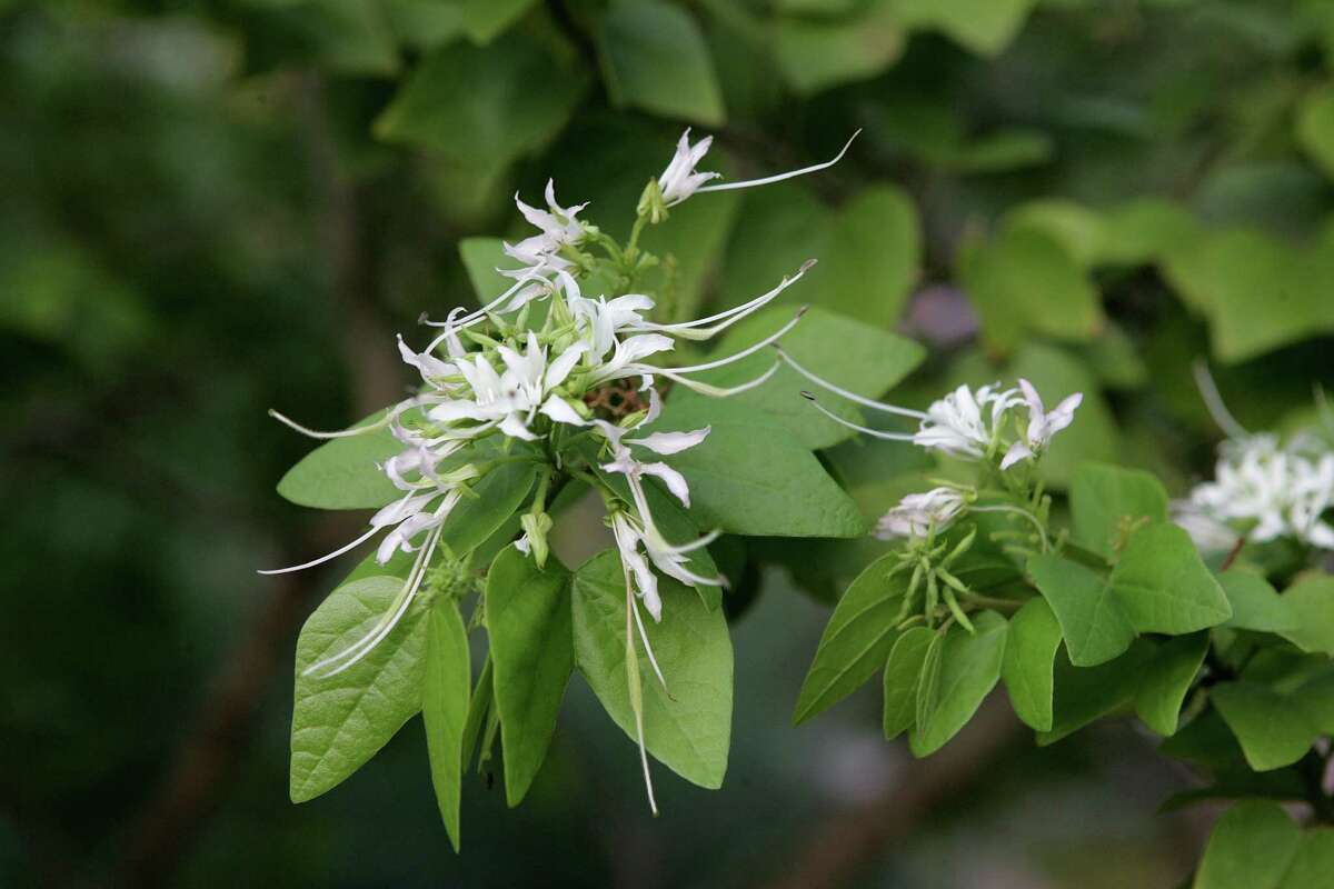 Mexican bauhinia is a lovely small tree covered in delicate-looking white flowers for months. The blooms attract scores of swallowtails.