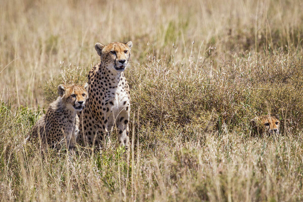 Cheetahs females live with their cubs on open grasslands. Camouflage allows them to avoid predators and stalk prey. A cub on the right is almost hidden by the grass. Photo Credit: Kathy Adams Clark. Restricted use.
