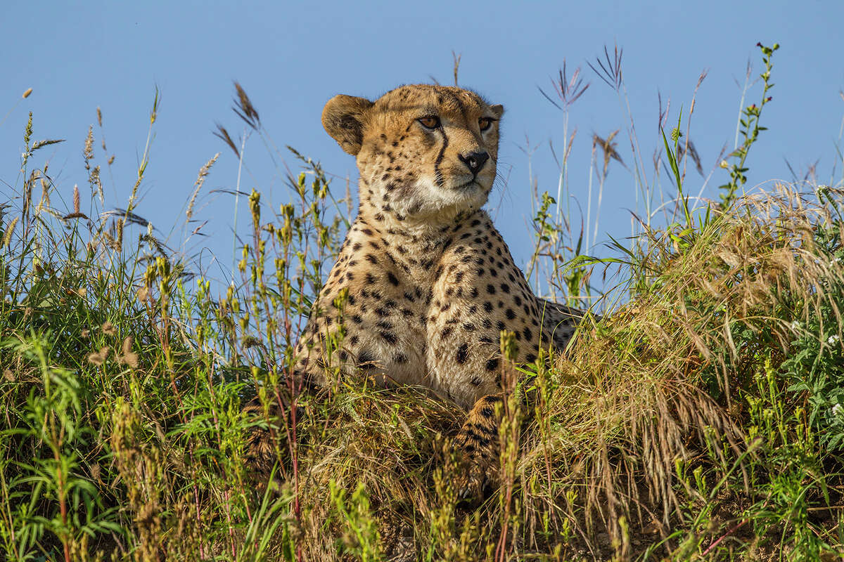Cheetahs rely on camouflage to stalk prey and rapid speed to bring the prey down.