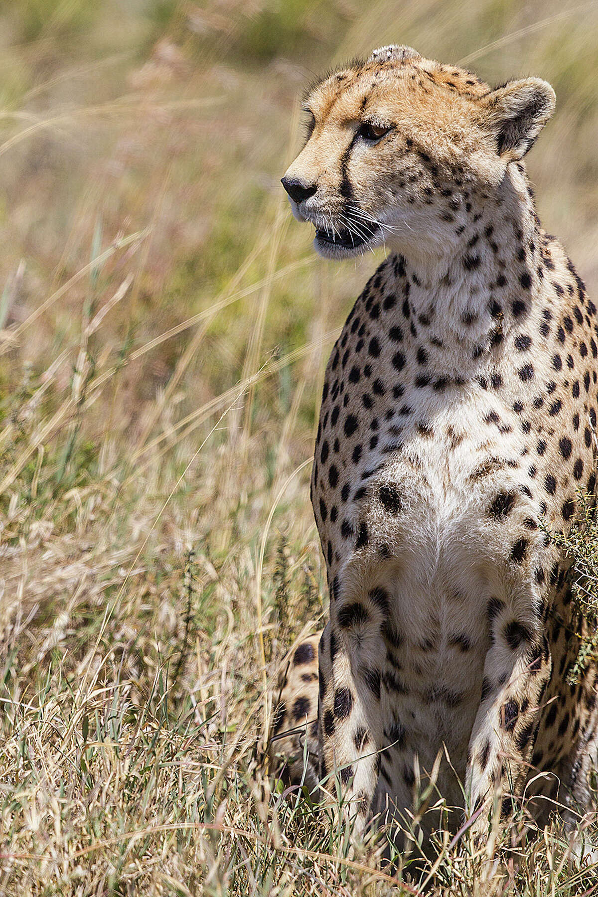 Cheetahs are the sleekest of the big cats in Africa. They need large, wide-open spaces to hunt prey and escape predators.