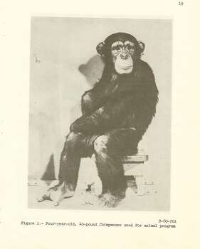 A chimp used for a testing program.