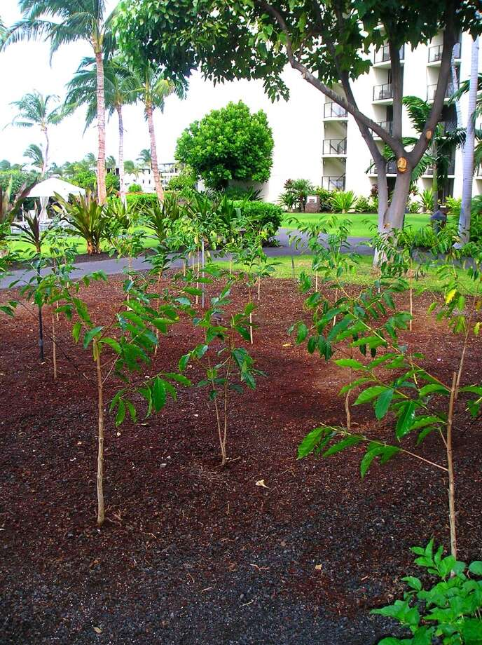 In honor of the 200th anniversary of Kona coffee, the Waikoloa Beach Marriott planted 40 coffee trees from Holualoa. They're a variety designed to withstand the warmer beach weather and should start bearing coffee cherries in August.